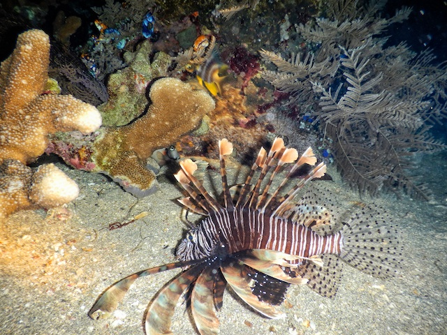 Lion fish at night